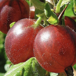 Ribes uva-Crispa Whinhams Industry
