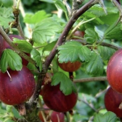 Ribes uva-Crispa Captivator (rode kruisbes)