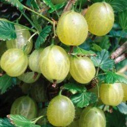 Ribes uva-Crispa Mucurinus